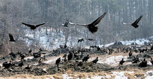 豚の腐敗臭にたかる鷲の群れ