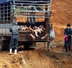 韓国で口蹄疫のブタ 生き埋めにしてたら爆発