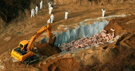 韓国口蹄疫 生き埋めの豚たちの画像