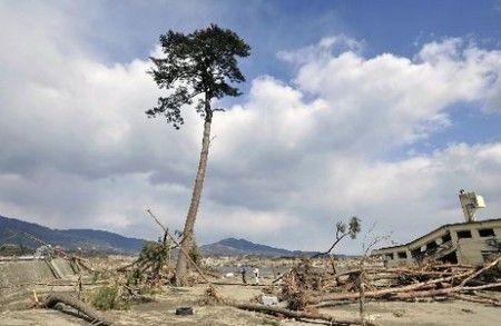 津波で壊滅的な被害を受けた岩手県陸前高田市で、国の名勝にも指定される「高田松原」の数万本の松が、ほぼすべてなぎ倒される中、奇跡的に1本だけ生き残った。
