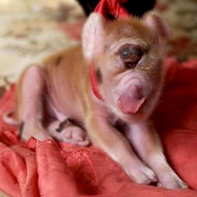 支那の奇形豚