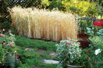 MEN-FM10-wheat-2