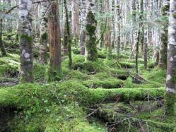 白駒池周辺の苔2