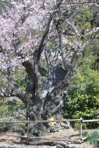 IMG_5612sakura_convert_20110401183654.jpg