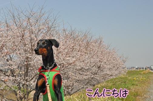 10apr11sakura01