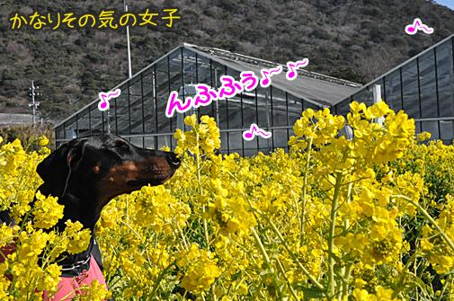 14jan11rapeblossom05