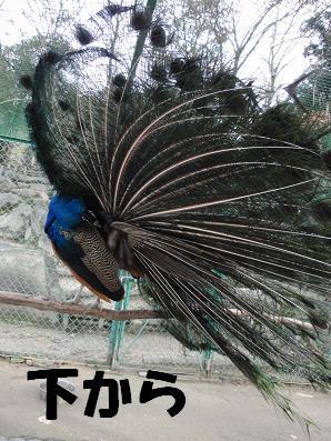 peacoke