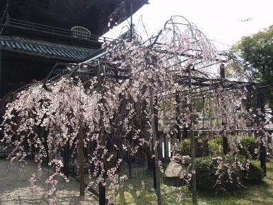 daijyujisidarezakura02
