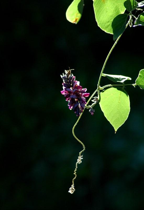 クズ(葛)の花