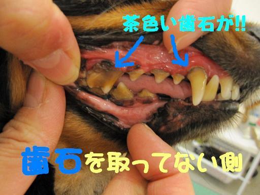 ブログ トトちゃん 歯石