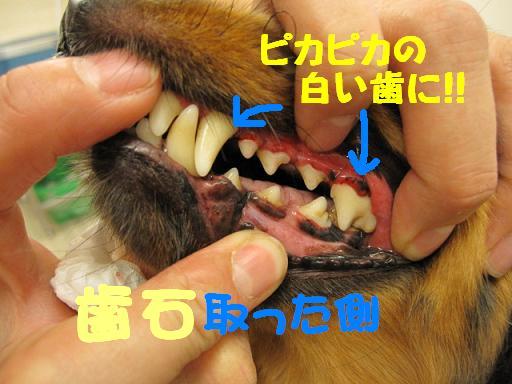 ブログ トトちゃん 歯石2