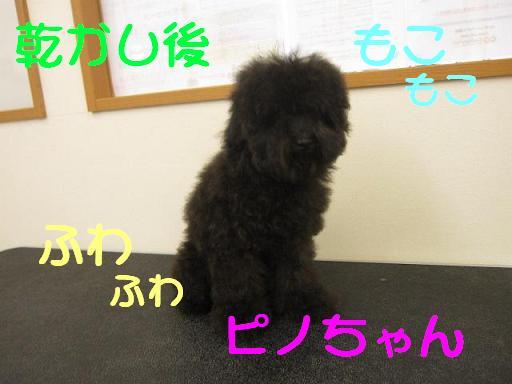 9日 ブログ ピノちゃん1