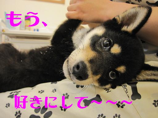ブログ柴 003