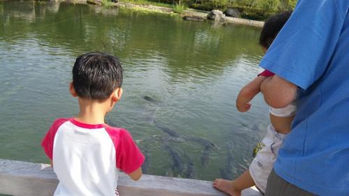 池の鯉に餌やり