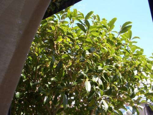 窓辺の金木犀