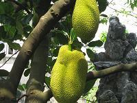 ジャックフルーツの木(小)