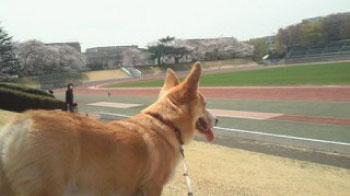 2011年4月桜とバディと武蔵野陸上競技場