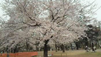 2011年4月武蔵野中央公園の桜