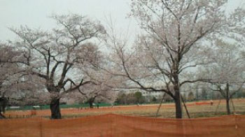 2011年4月武蔵野中央公園の桜2