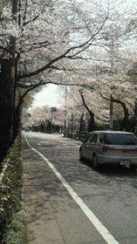 2011年4月市役所通りの桜2