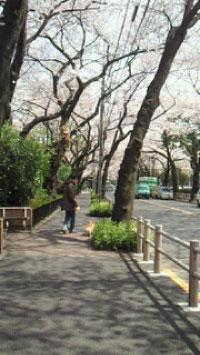 2011年4月市役所通りの桜3