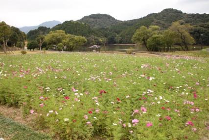 中山池自然公園コスモス