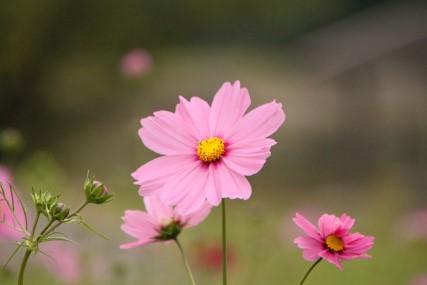 中山池自然公園コスモス1