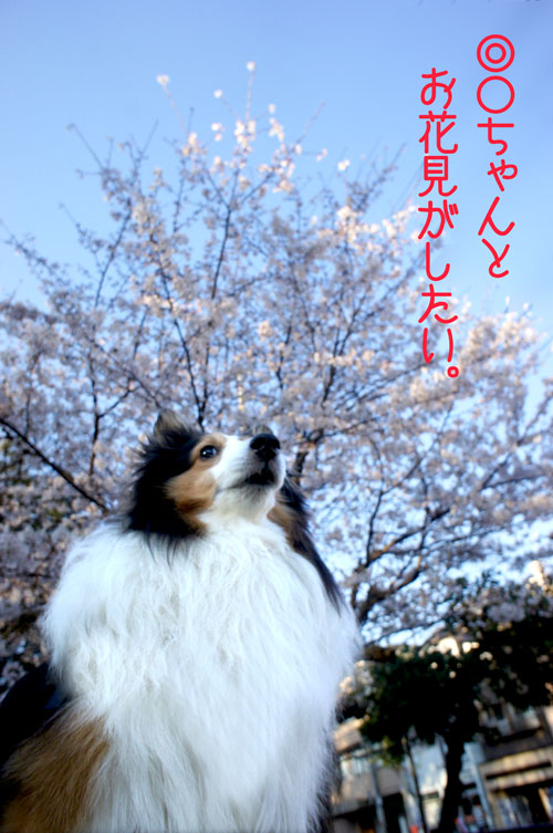 00ohanami_20110408073525.jpg
