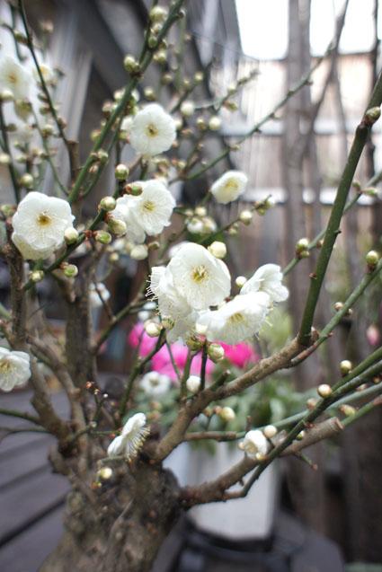 000梅の花