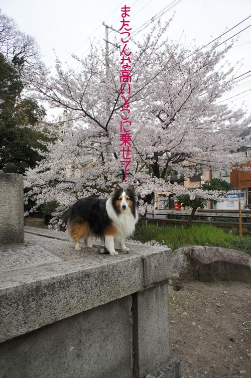 00桜前線