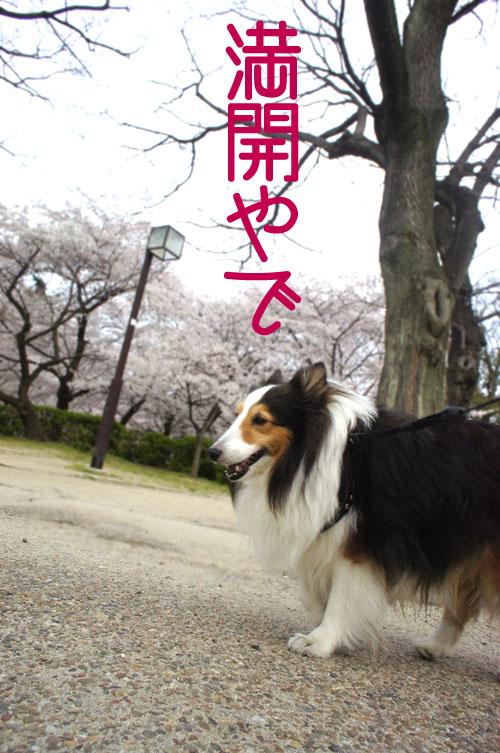 00桜の花