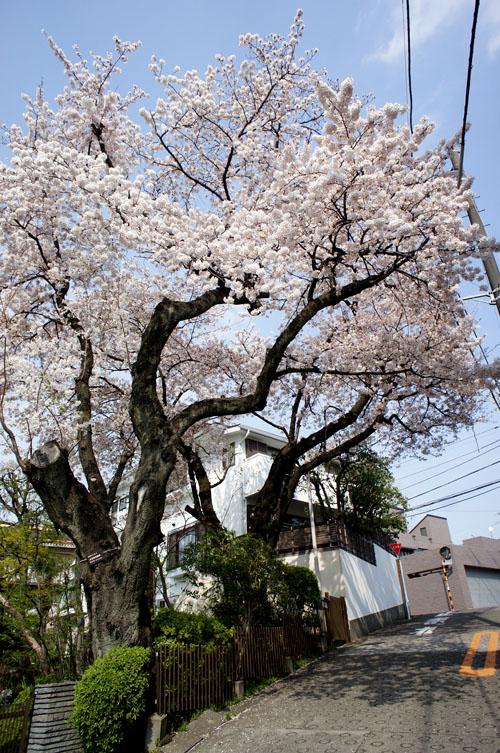 田園調布の桜