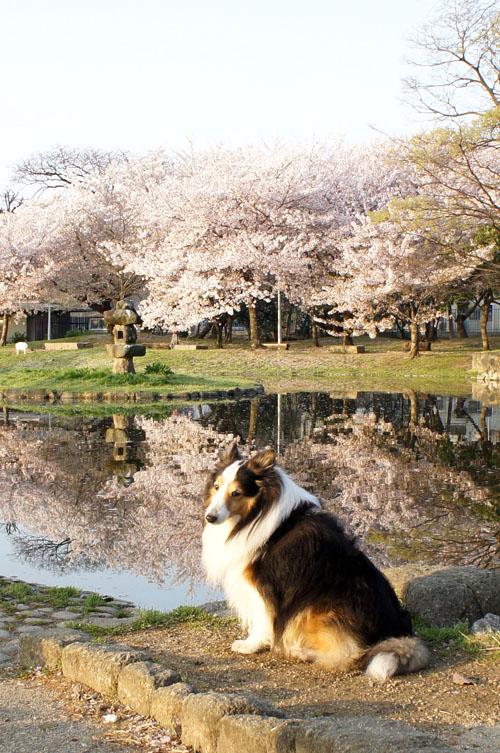a101桜