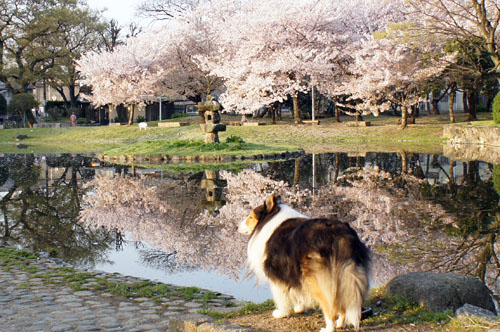 あ101桜2