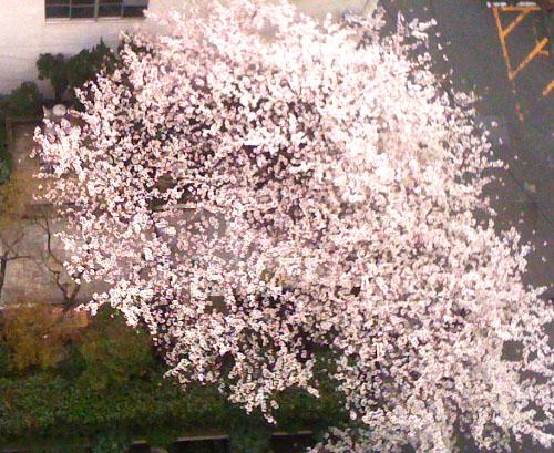 sakura_20100405073819.jpg