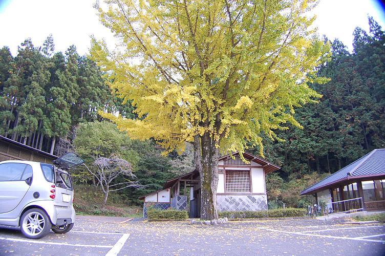 鳳来寺のイチョウの木