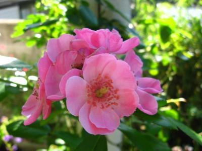 薔薇・アンジェリカ