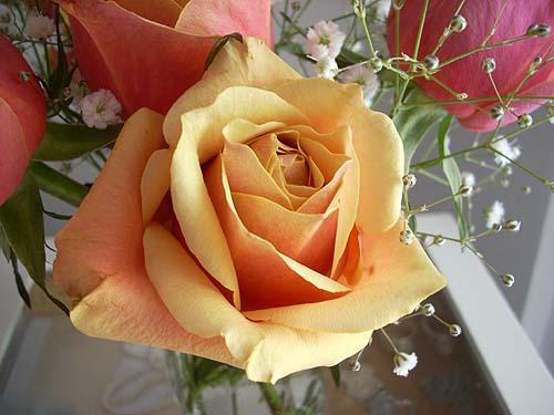 20091222薔薇②