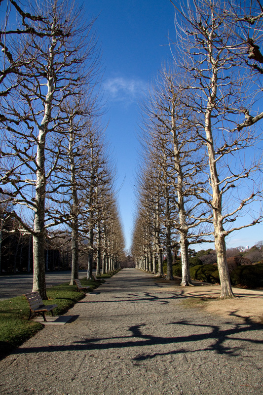 冬のプラタナス並木