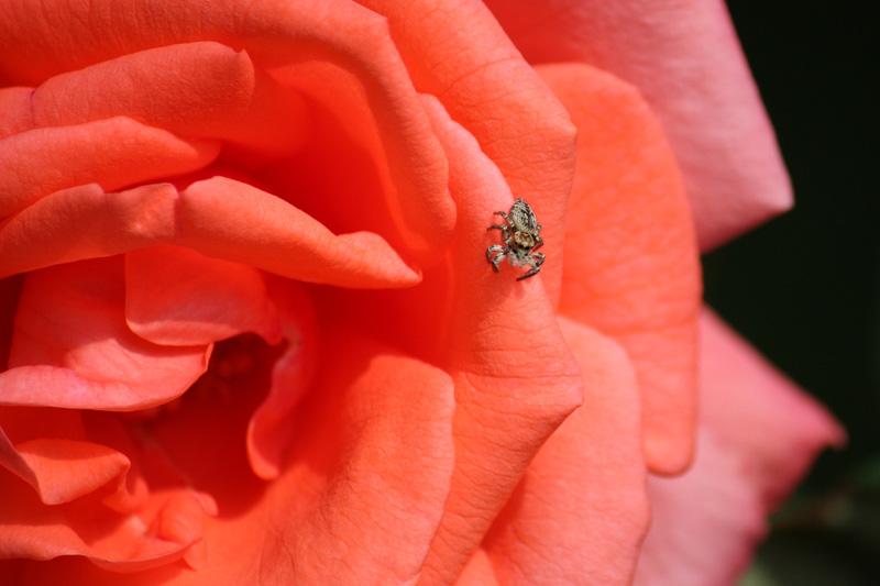 クモとバラ