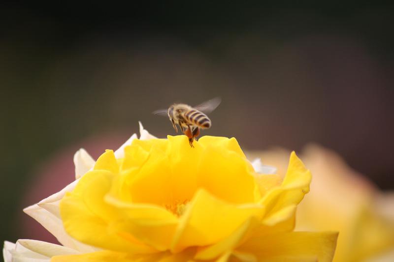 セイヨウミツバチとバラ