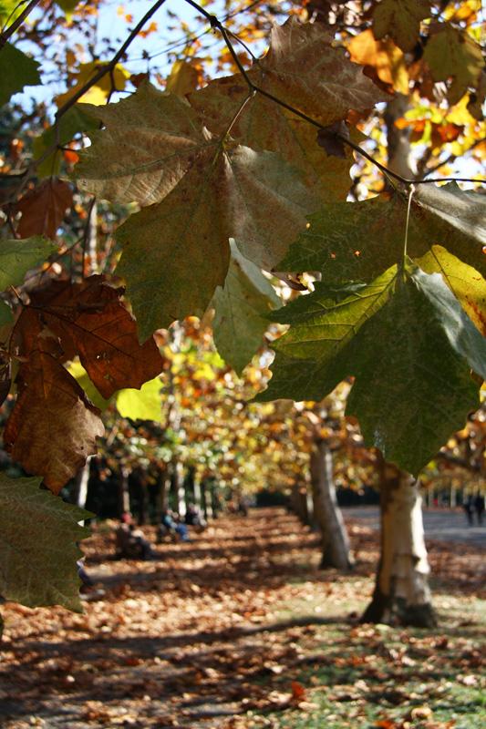 晩秋のプラタナス並木