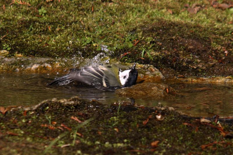 シジュウカラの水浴び
