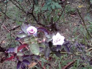 うつぼ公園 バラ園のバラ タソガレ
