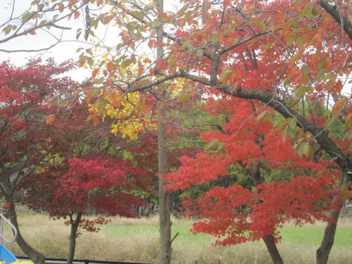 幼稚園の紅葉