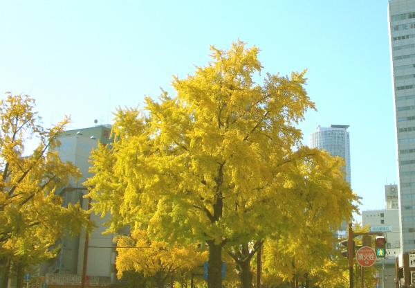 桜通りの銀杏並木1