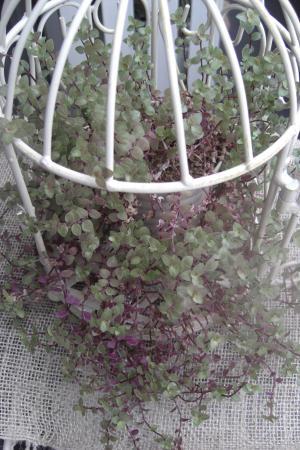 カリッシア籠