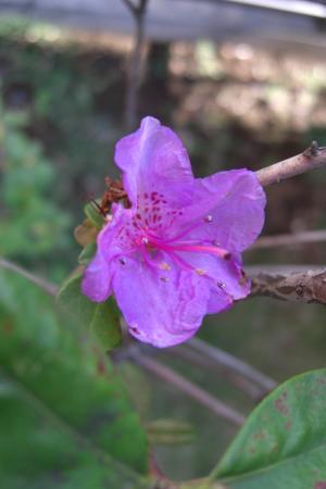 シャクナゲ花