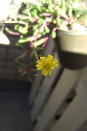 ルービー 花