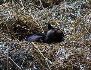 7・メジャー・寝藁の中でくつろぐミケ